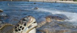 Cayman Turtle Farm - Grand Cayman